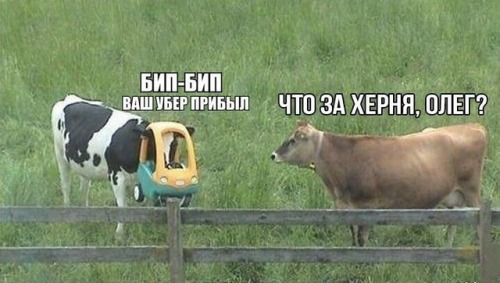 "A picture of two cows in a field.  One has a child-sized toy plastic car on its head.  The cow with the car on its head is saying: ""БИП-БИП ВАШ УБЕР ПРИБЫЛ"