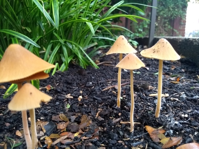 Close-up ground-level picture of a cluster small, light brown mushrooms that have sprung up in the mulch in a planter.