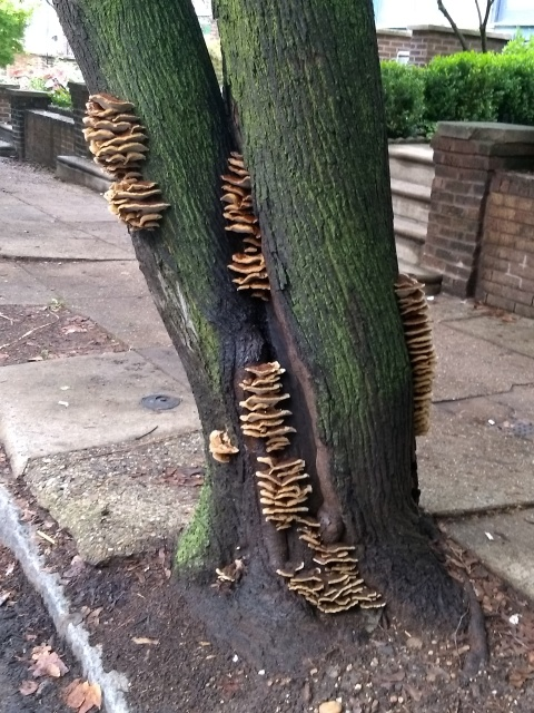 The trunk of a tree, arising from a missing patch in the sidewalk, with several columns of bracket fungus protruding from its various sides.